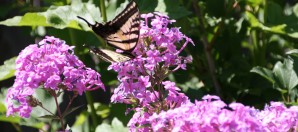 Phlox and Butterfly